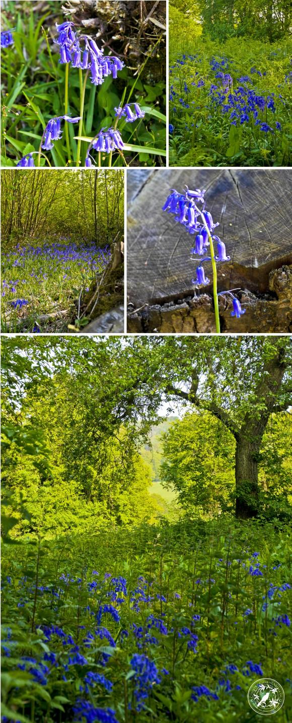 Collage-Bluebells
