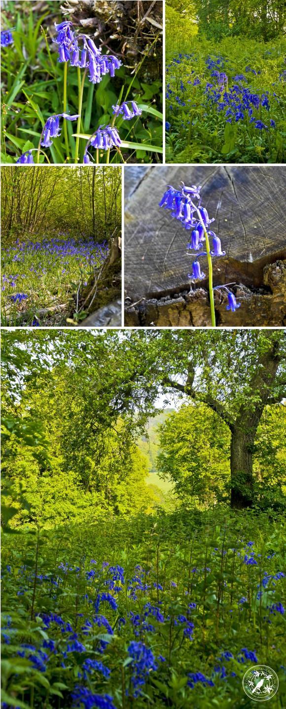 Collage-Bluebells